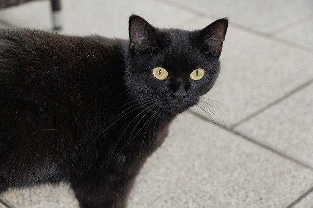 черная кошка, приметы