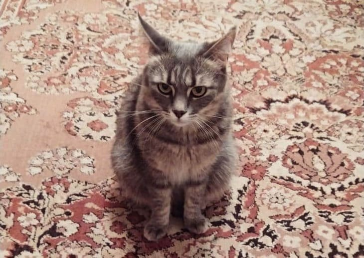 кошка сидит на ковре