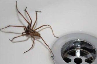 паук в раковине