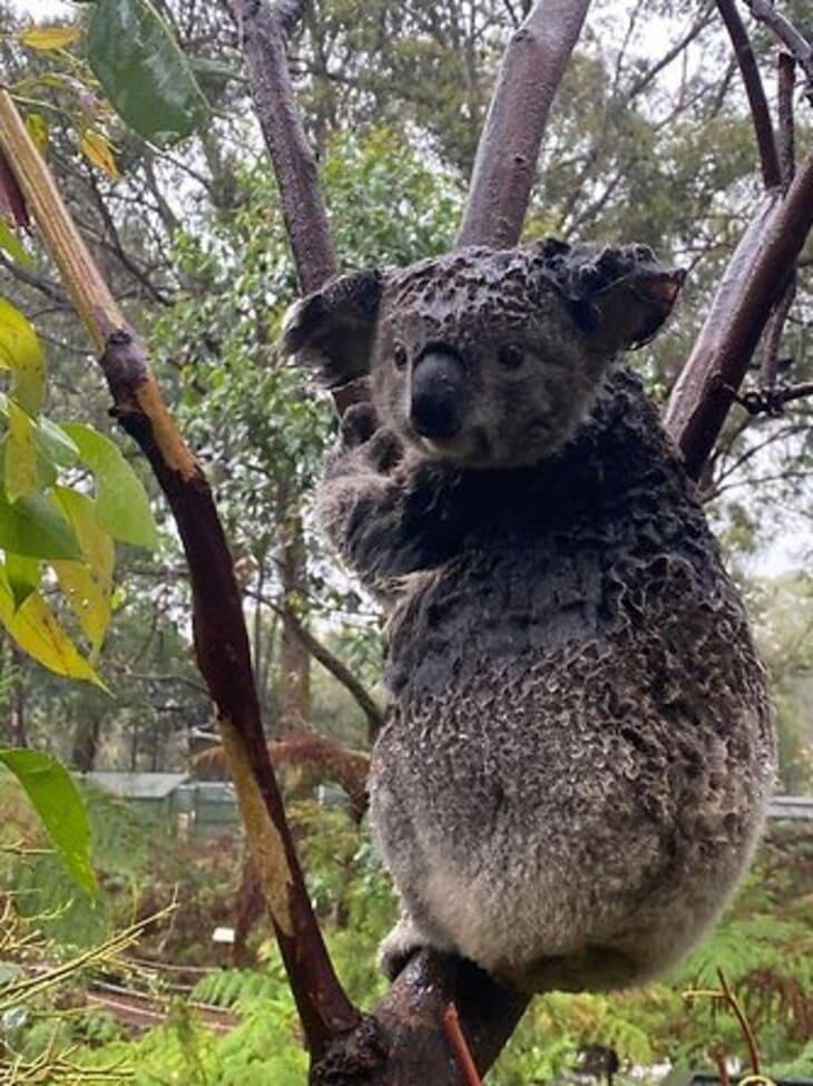 Почему нельзя гуглить мокрая коала
